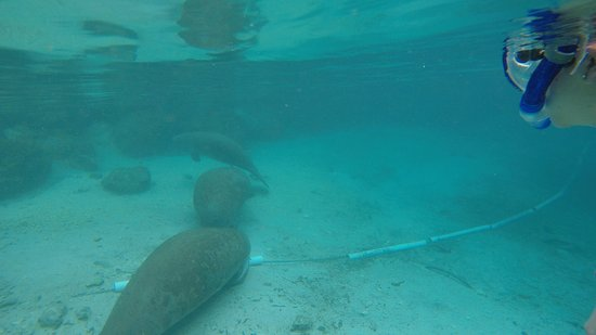 Crystal Lodge Dive Center: Looking at a manatee