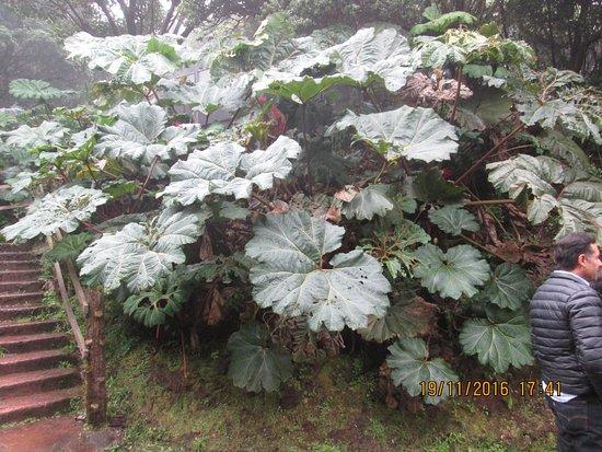 Poas Volcano National Park, Costa Rica: Здесь произрастают вот такие большие лопухи
