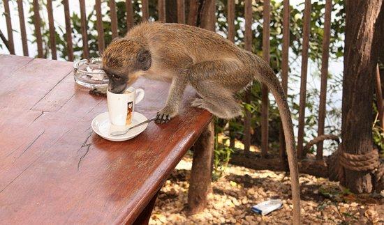 La Petite Cote, Senegal: małpka w kawiarni