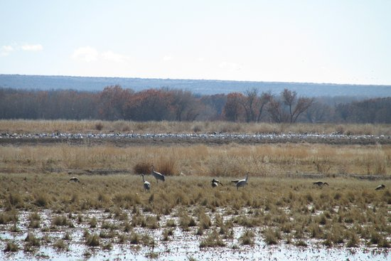 Socorro, NM: Sandhill cranes and Snow Geese