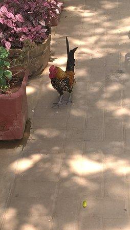 Addo, South Africa: Resident cockerel