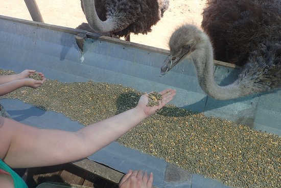 Oudtshoorn, Νότια Αφρική: Ostrich feeding