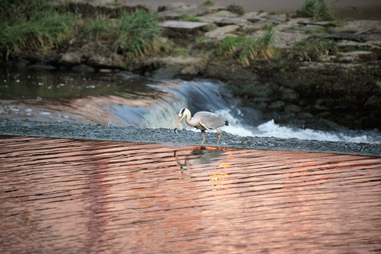 Christleton, UK: Heron feeding at the River Dee weir in Chester