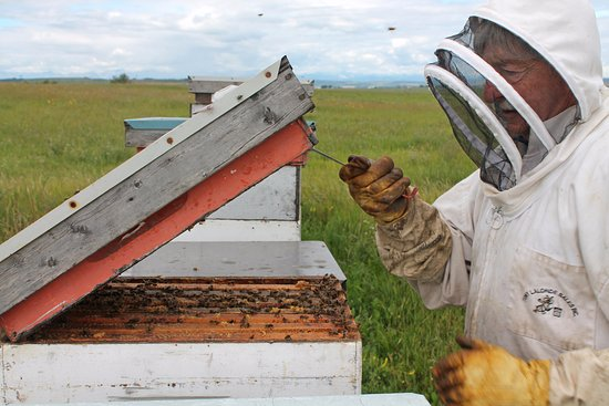 Okotoks, Canada: Chinook Honey Company's owner, Art, checking on the bees.