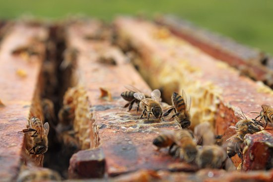 Okotoks, Canada: Bees in the hives at Chinook Honey Company