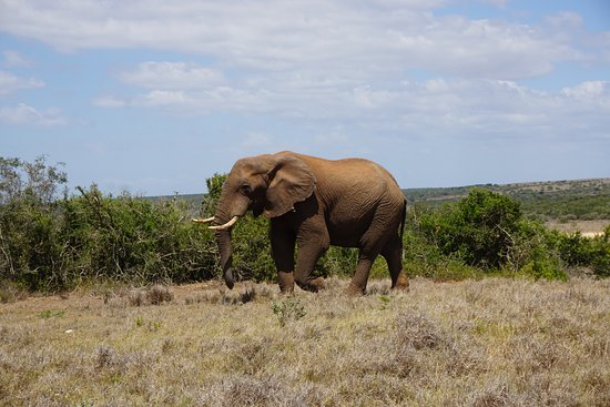 Addo Elephant National Park, Sudáfrica: One of the maaaaaany elephants over there.