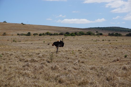 Addo Elephant National Park, Sudáfrica: There were ostriches too!