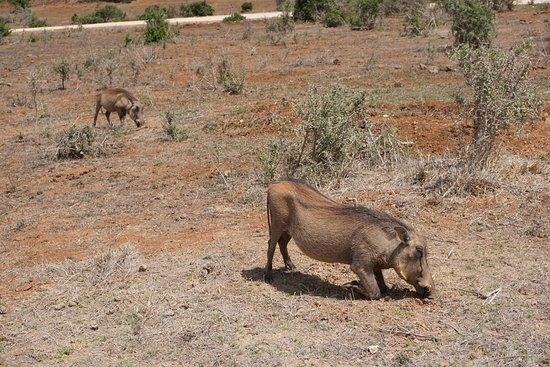 Addo Elephant National Park, Südafrika: Hakuuuuna Matata!