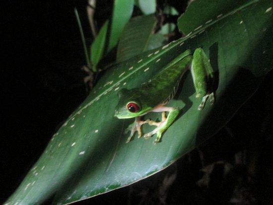 Puerto Jimenez, Kosta Rika: Green tree frog