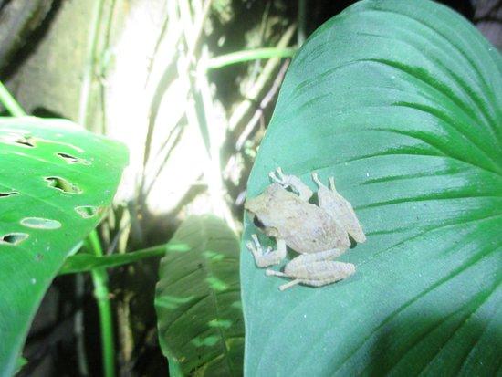 Puerto Jimenez, Kosta Rika: Frog on a leaf