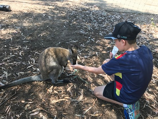 Seddon, Avustralya: feeding the wallabies