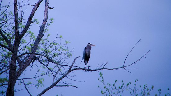 Clifton Park, نيويورك: Blue heron roosting in a tree at sunset