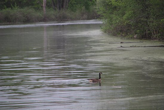 Clifton Park, NY: Canada geese are numerous.
