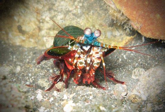 Tulamben, Indonesia: Mantis Shrimp