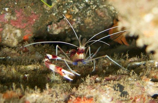 Tulamben, Indonesia: Boxer shrimp