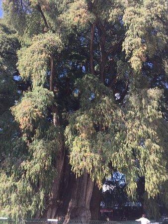Oaxaca, Mexico: Inny fragment drzewa, było tak duże, że trudno było je całe sfotografować