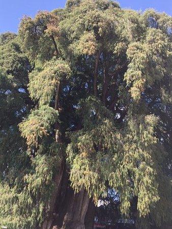 Oaxaca, Mexico: Korona największego drzewa w Meksyku