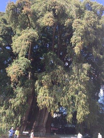 Oaxaca, Messico: ogrom drzewa widać porównując je z małymi sylwetkami ludzi na dole