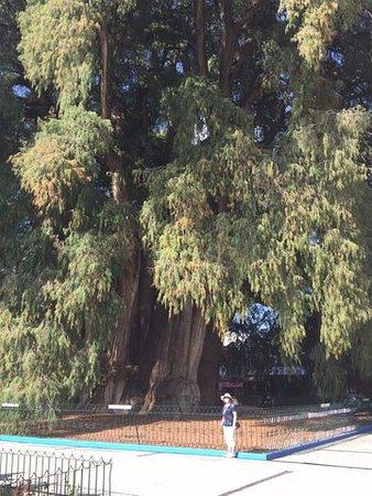 Oaxaca, Messico: ogromne drzewo i mała postać ludzka