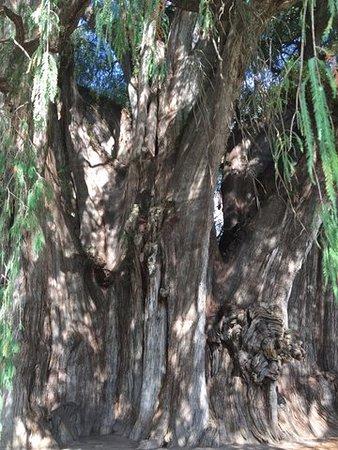 Oaxaca, المكسيك: Dolne pnie drzewa