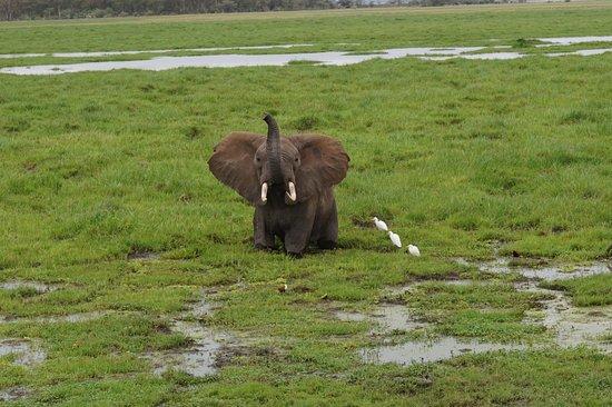 Amboseli National Park, Kenya: Elefant njuter av ett lerbad