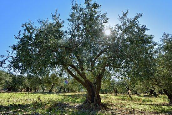 Moulin Fortune Arizzi : Un olivier du domaine sous le soleil