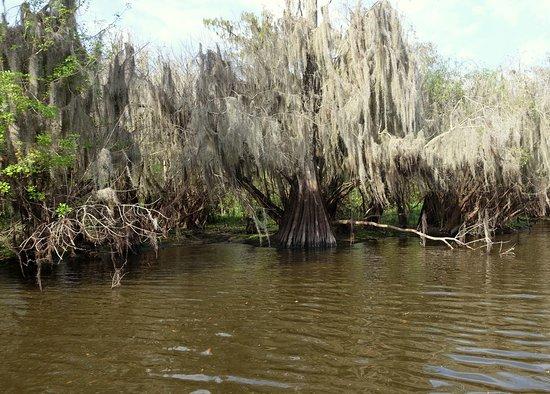 Arcadia, FL: Spanish Moss on trees