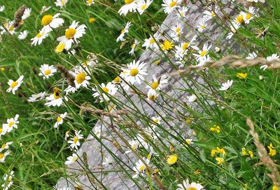 Stibb, UK: tiny daisies