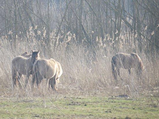 Almere, Países Bajos: De przewalskipaarden .