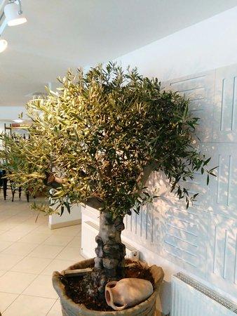 Aschheim, Alemania: Olivenbaum