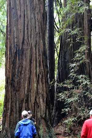 Mill Valley, CA: One of the many Muir Woods giants
