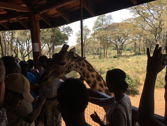 African Fund for Endangered Wildlife (Kenya) Ltd. - Giraffe Centre: photo6.jpg
