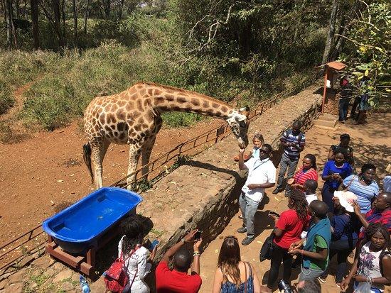 African Fund for Endangered Wildlife (Kenya) Ltd. - Giraffe Centre: photo8.jpg