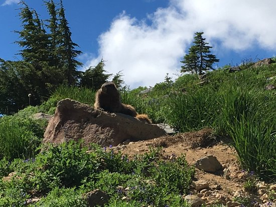 The marmot of Mount Rainier