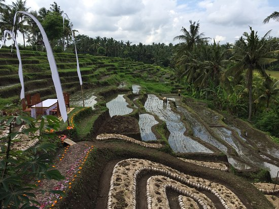 Soulshine Bali: Garden and rice fields. Pictured from off the pool deck.