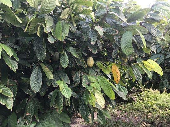 Fig Tree Drive : Chocolate tree