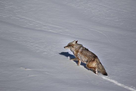 Gardiner, MT: Coyote
