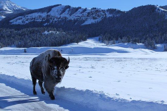 Gardiner, MT: Bison