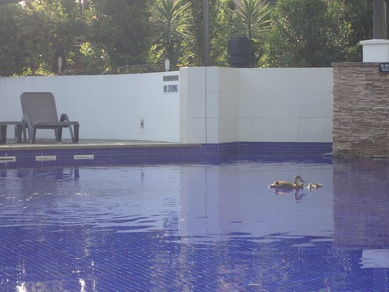 Grand Mercure Allegra Hervey Bay: Pool with surprise visit from mother duck and 8 ducklings