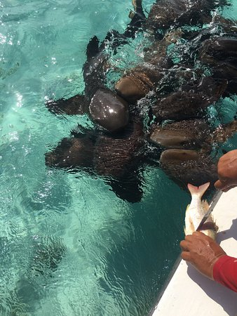 Ambergris Caye, Belize: Feeding nurse sharks
