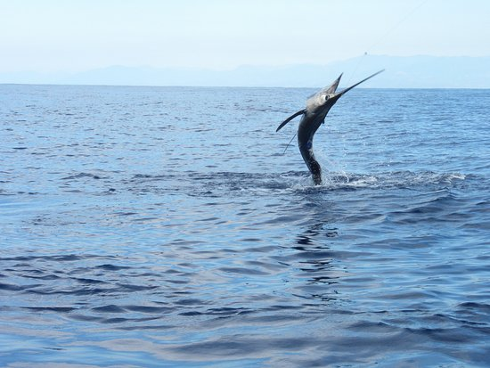 Guerrero, Meksika: Sail fish dancing on the water