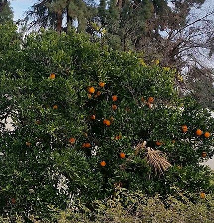 Redlands, CA: Orange groves