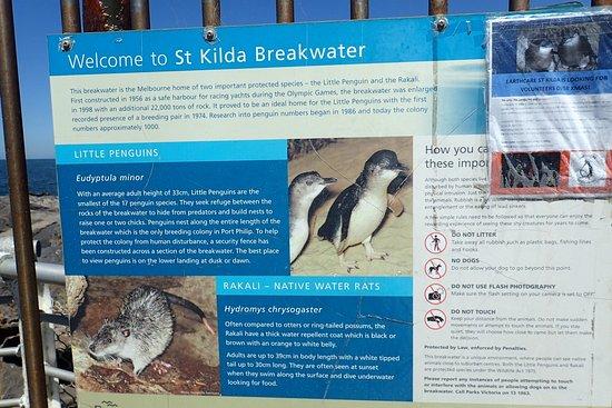 St Kilda, Australia: Little penguins