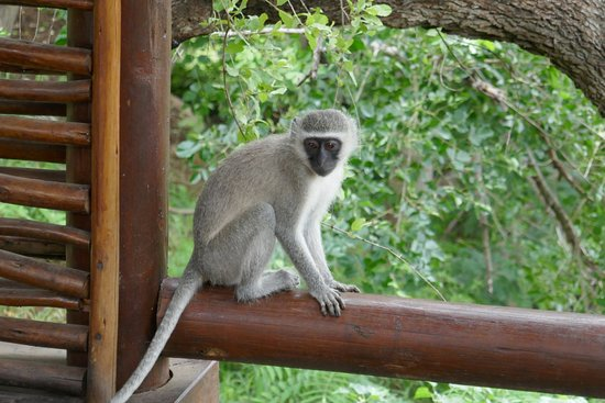 Balule Nature Reserve, Sudáfrica: These monkeys played on our porch every day