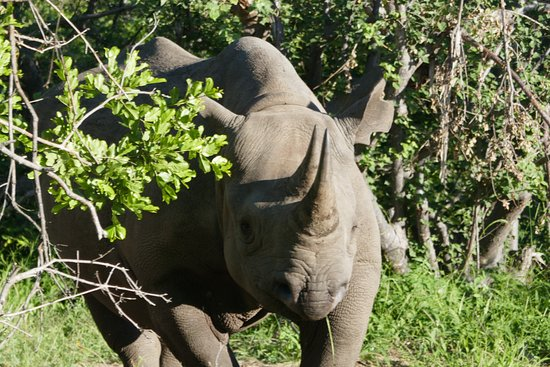 Balule Nature Reserve, Sudáfrica: A Rhino on our game drive