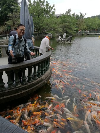 Zhaoqing, China: The huge koi pond...