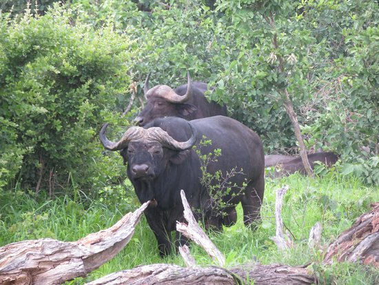 Hwange National Park, Zimbabwe: Cape buffalo bachelor herd