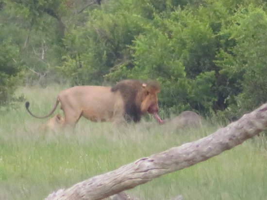 Hwange National Park, Zimbabwe: Mopani the Lion