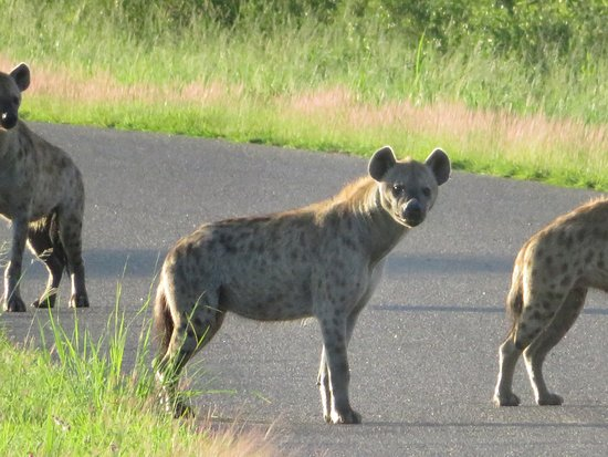 Hwange National Park, Zimbabwe: Hyenas in the park