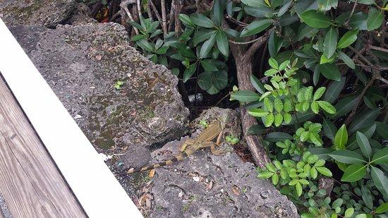Greynolds Park: An iguana near the fishing pier
